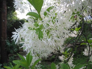 fringe trees in bloom