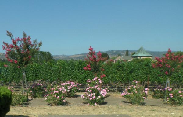 Виноградник с розами 8