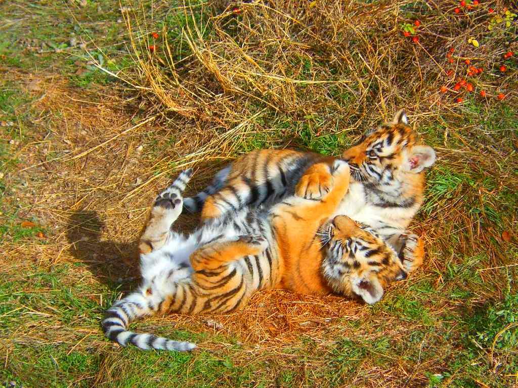 тигрица-мама8.jpg