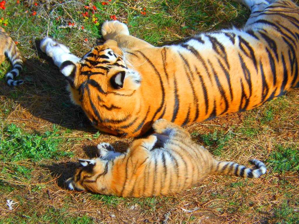 тигрица-мама15.jpg