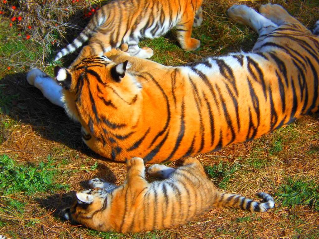 тигрица-мама16.jpg