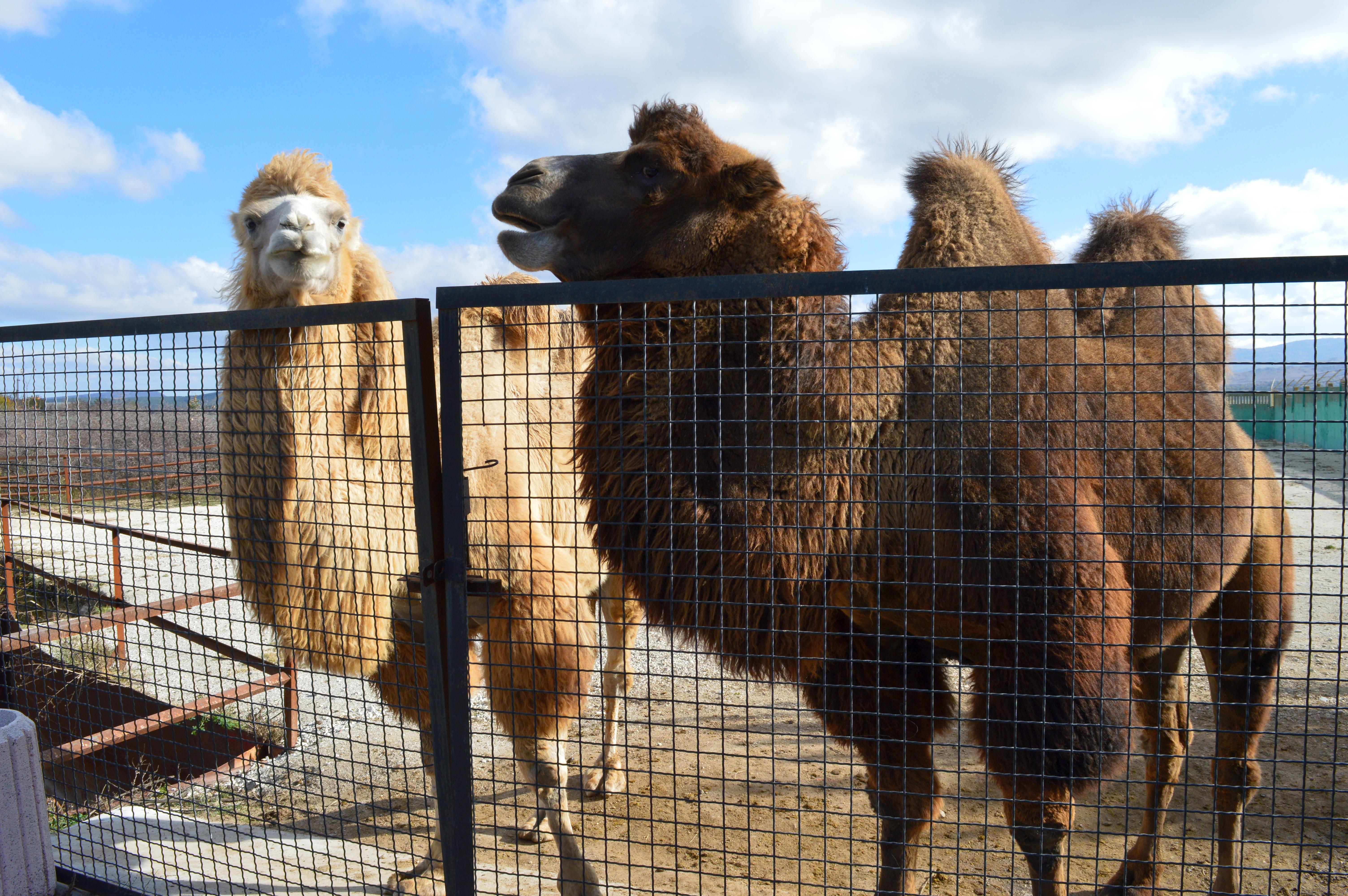 верблюды3.jpg