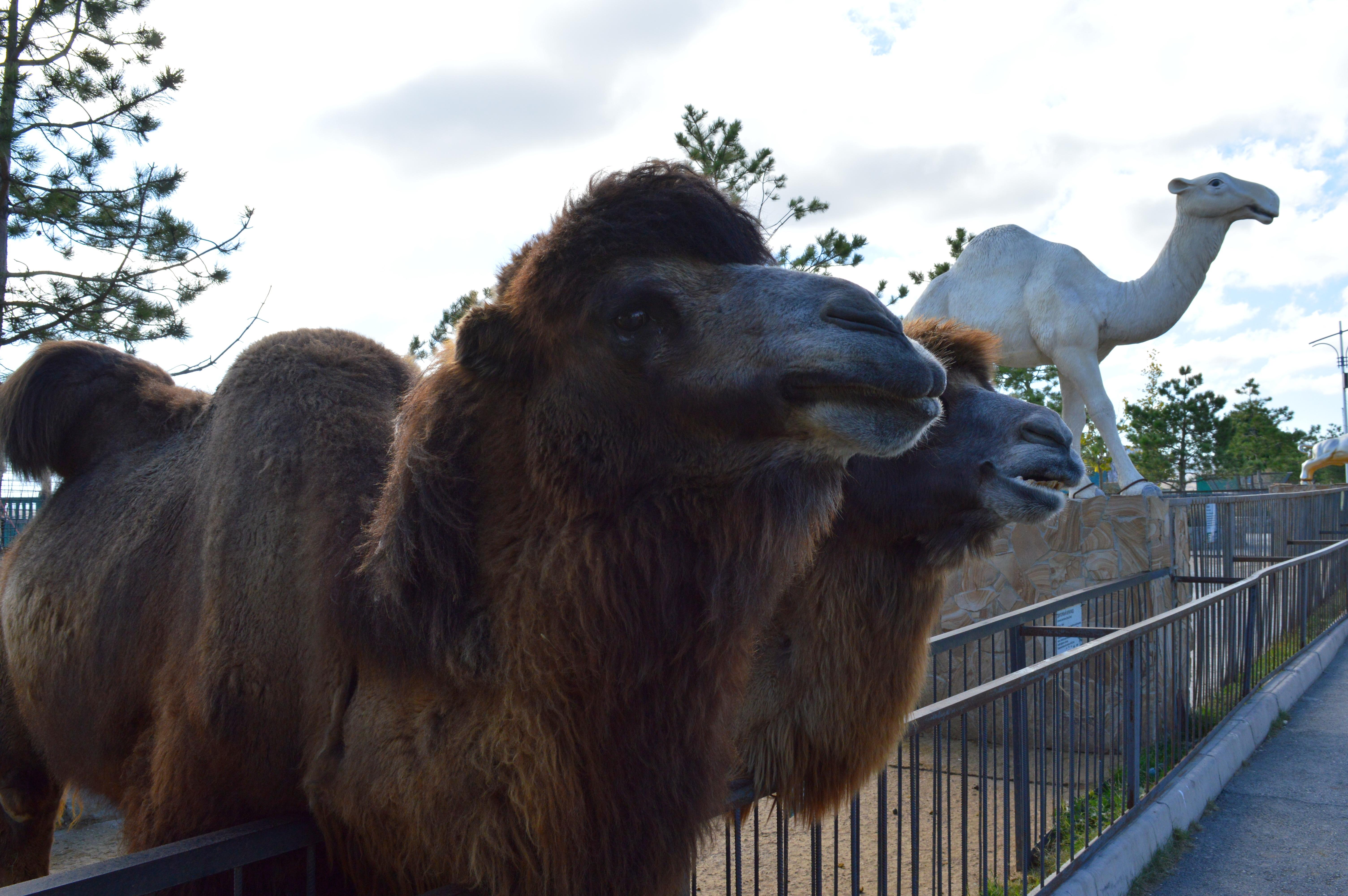 верблюды11.jpg