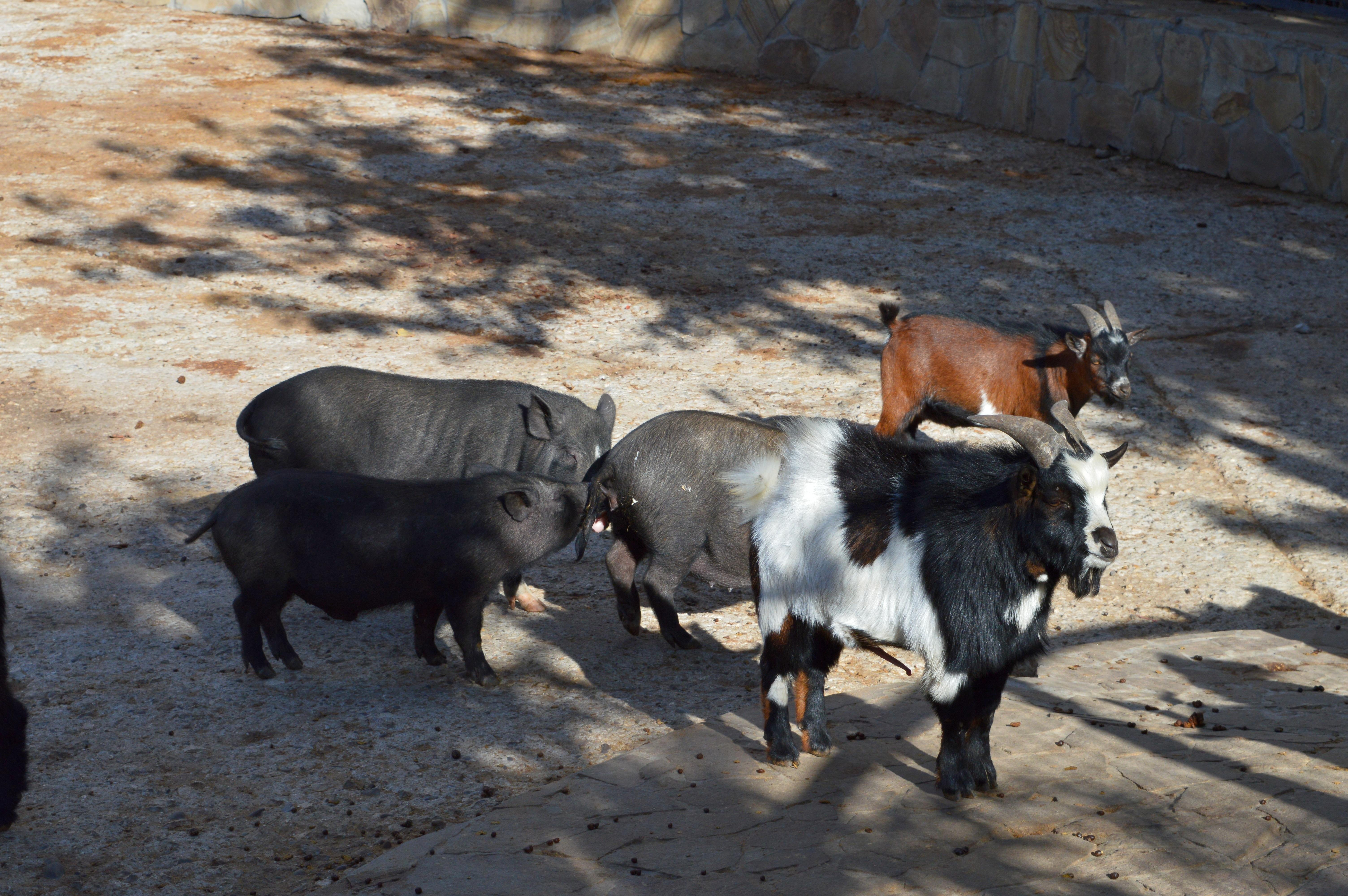 козы-свин1.jpg