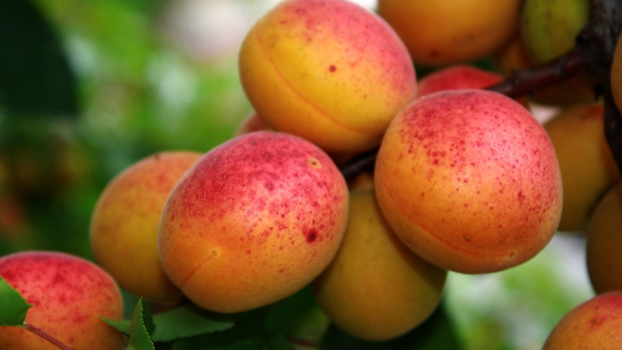 abrikosi