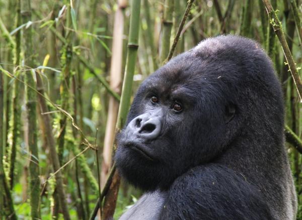 gorila-sxc-hu-februar-2012