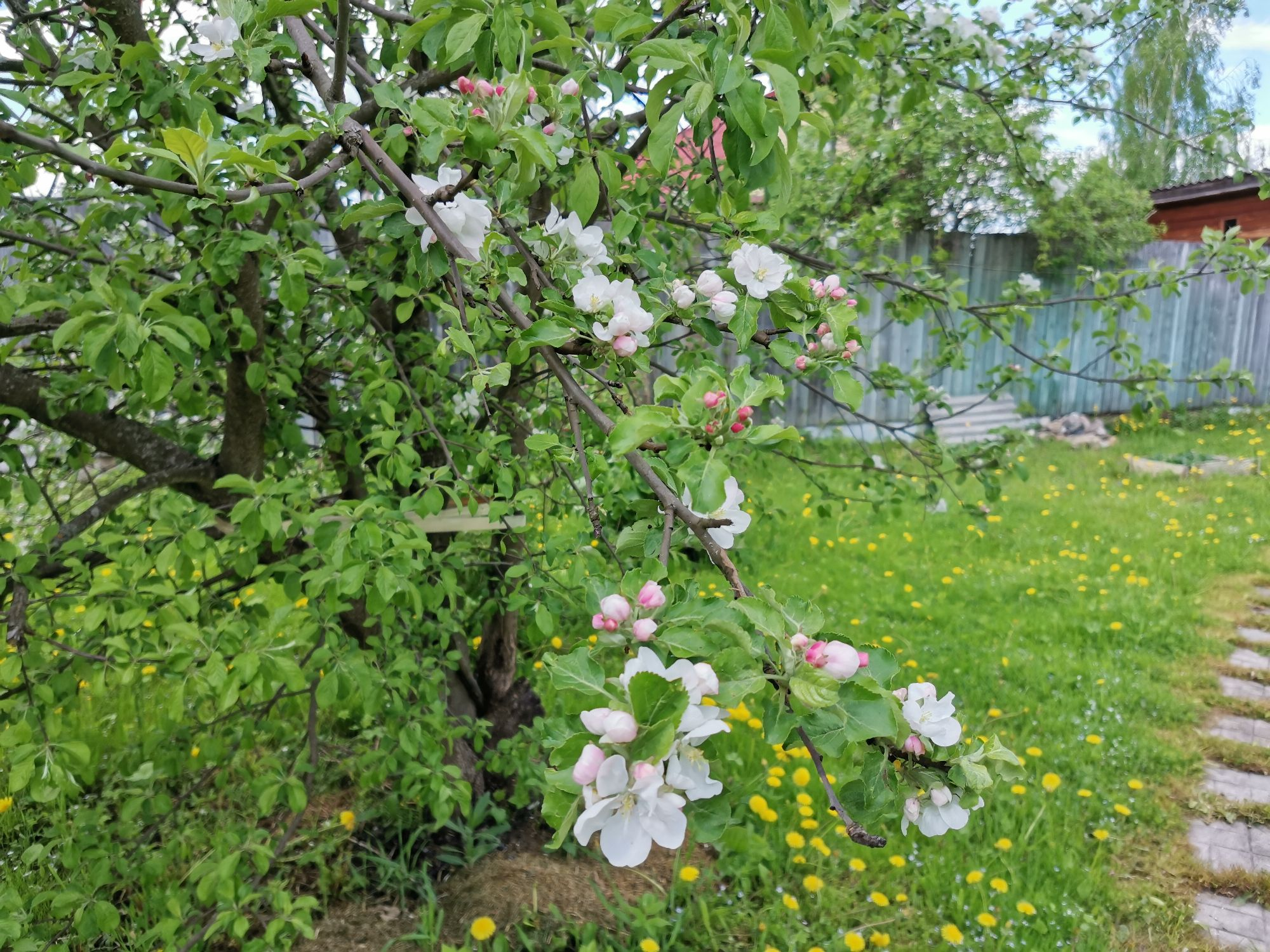 Яблони зацвели. Похоже в этом году много яблок будет