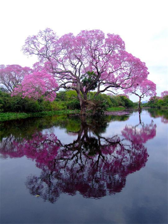 Lapacho-tree