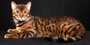 Bengal_cat_4