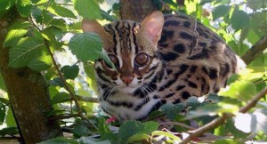 asian-leopard-cat-felis-bengalensis