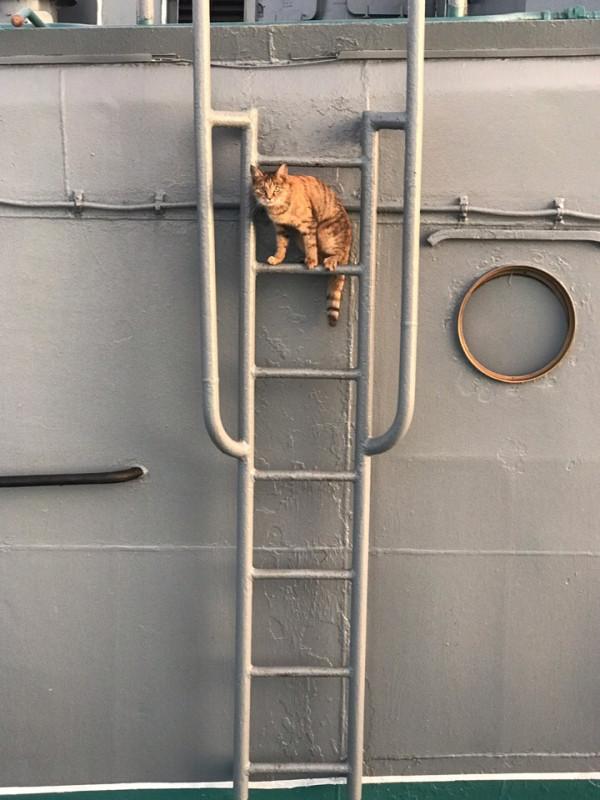 Муся - «штатная» кошка большого десантного корабля «Кондопога»