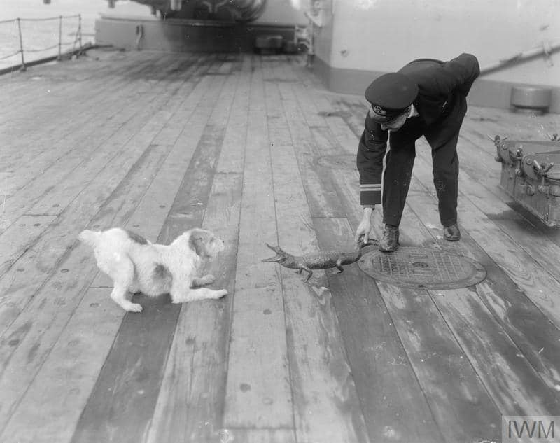 An officer aboard the Battlecruiser HMAS Australia with the ship's mascots sometime during WW1