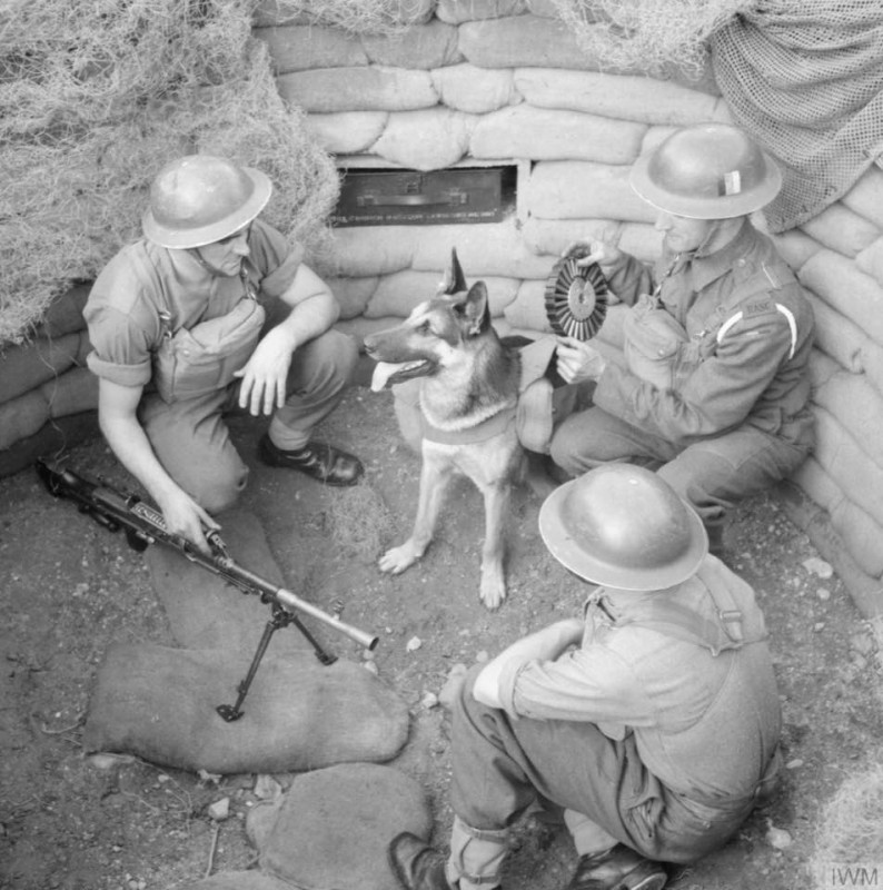 Troops of the Royal Army Service Corps putting some Lewis gun drums of ammunition into the pack carried by 'Mark', a dog ammunition carrier - August 20, 1941