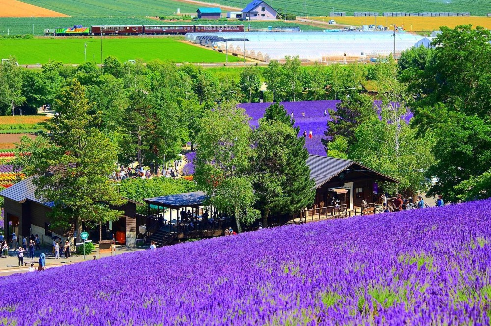Farm Tomita at the height of lavender