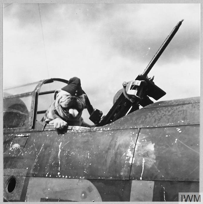 Butch is the bulldog mascot of an R.A.F. light bomber squadron, and is four years old. Picture (issued 1944) shows - Successful attack. Butch smiles for the camera