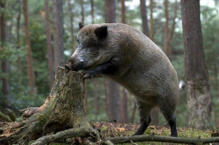 Что делать, если вы встретили в лесу кабана
