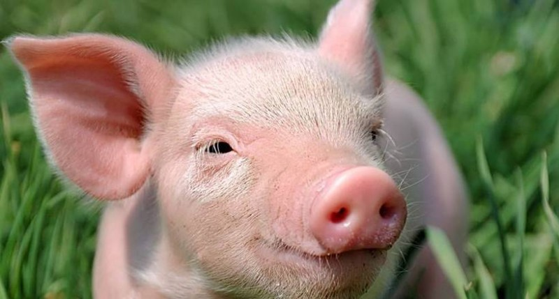 Голова-свиньи-фото