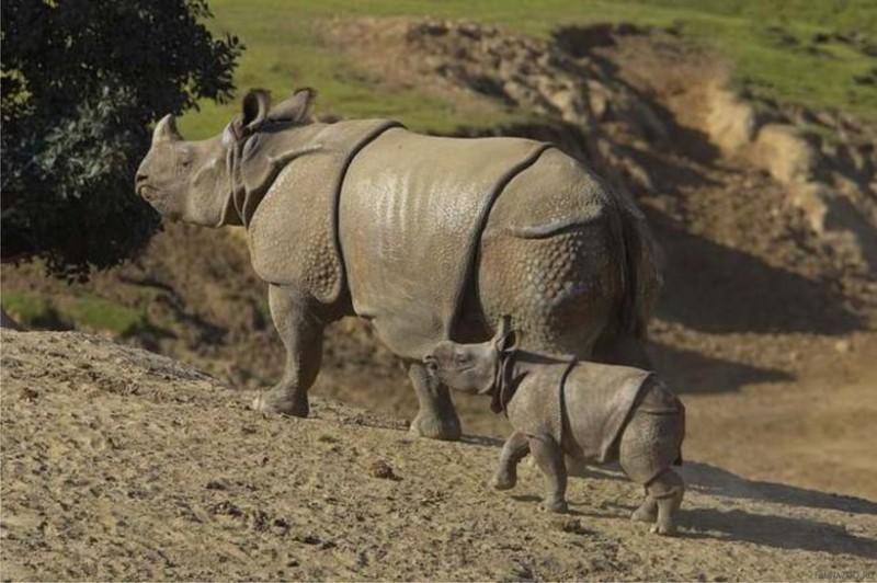 яванский_носорог