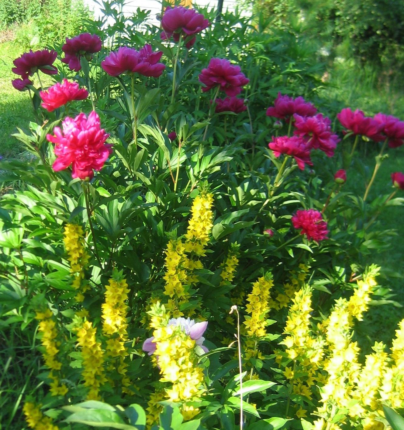 Куфия цветок