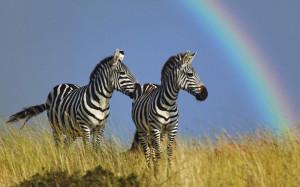 Радуга и зебра