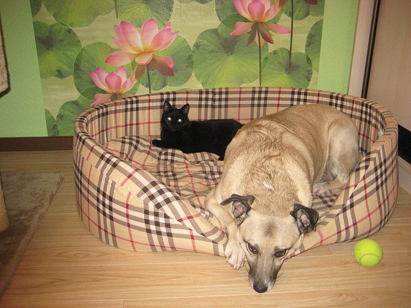 В доме брата: бомбейская кошка Пуся и собака Дуся
