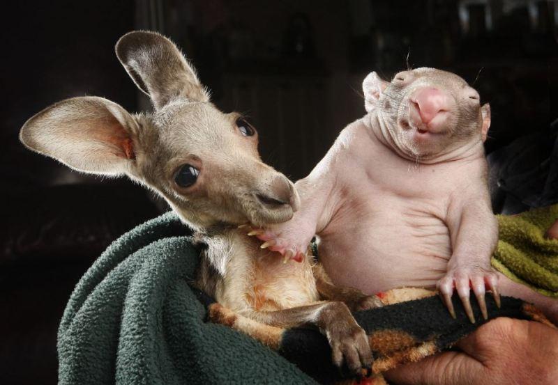 vombat_i_kenguru