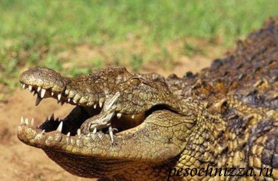 krokodiliha