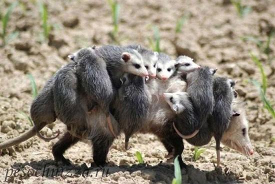 opossum-s-malyshami