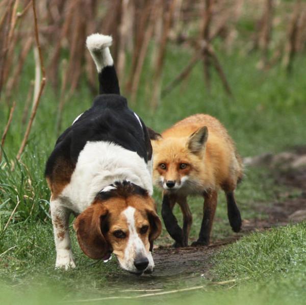 собака и лис