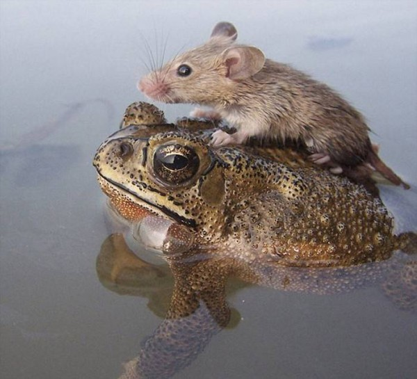 мышка на жабке