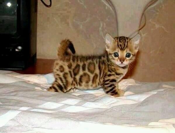 котёнок-леопардовый