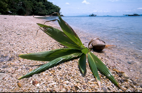Thailand_coconut-1_1