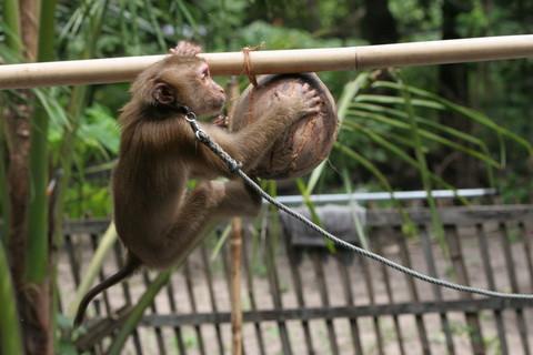 Thailand_coconut-1_2