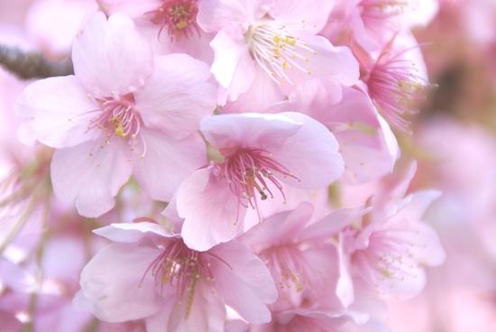 элегантность ежика, мюриэль барбери, сакура, цветение сакуры