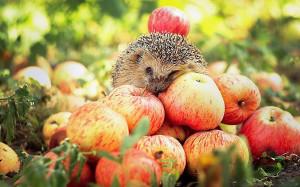 ежик яблочки