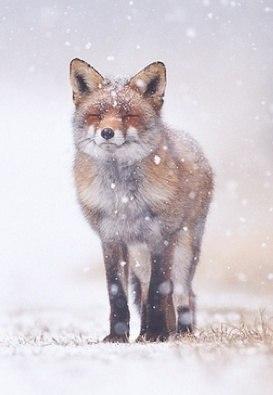 лиса в снегу