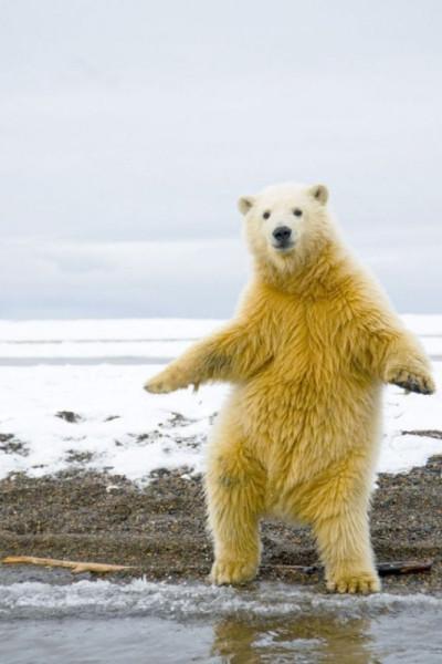 1346958735_polar_bear_disco_01