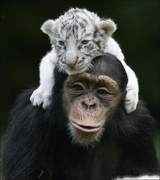 Тигры и обезьянка (1)