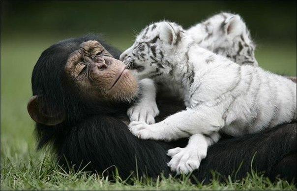 Тигры и обезьянка (2)
