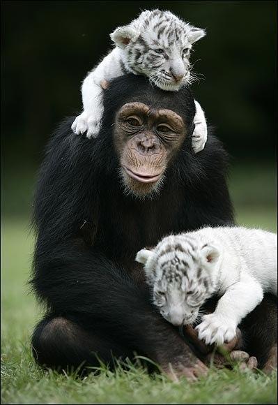 Тигры и обезьянка (3)