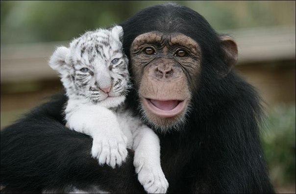 Тигры и обезьянка (4)