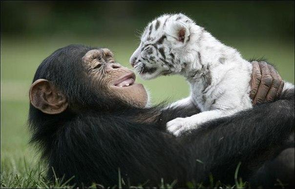 Тигры и обезьянка (6)