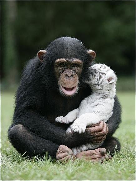 Тигры и обезьянка (8)