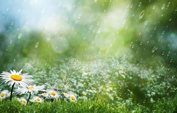 romashki-cvety-trava-kapli.jpg