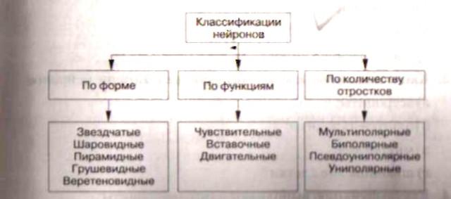 нервной системы человека