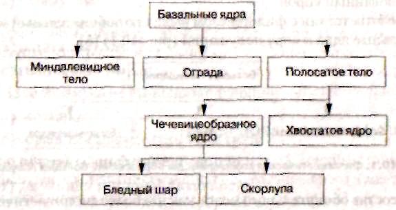 строения базальных ядер,