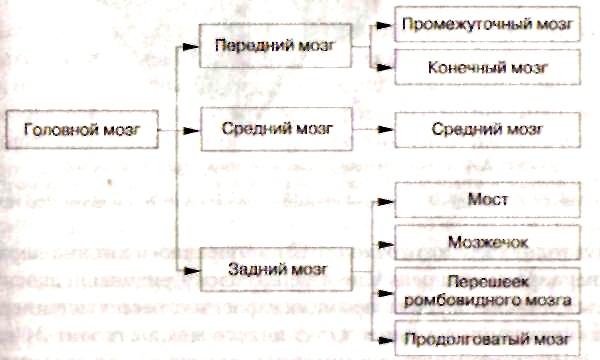 конечного мозга разделены