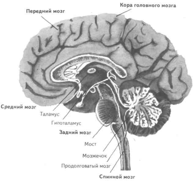 цнс, головной мозг