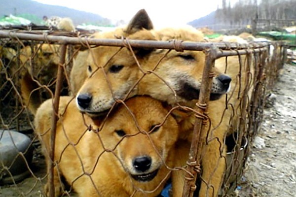 dogs_meat_farm_in_south_korea