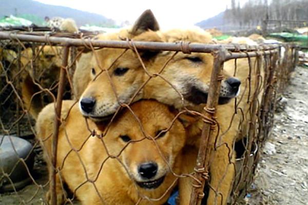 dogs_meat_farm_in_south_korea